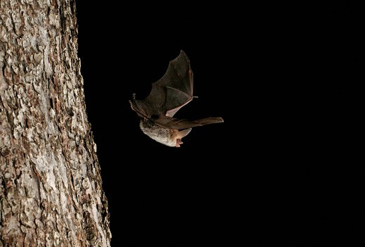 Stock Photo: 1848-533907 Bechstein´s bat Myotis bechsteinii