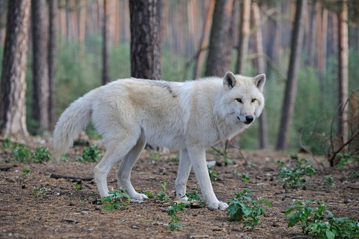 Stock Photo: 1848-533947 Arctic Wolf, Polar Wolf or White Wolf Canis lupus arctos