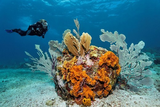 Scuba diver observing a reef formation, various colourful sponges, coral, sandy bottom, Little Tobago, Speyside, Trinidad and Tobago, Lesser Antilles, Caribbean Sea : Stock Photo