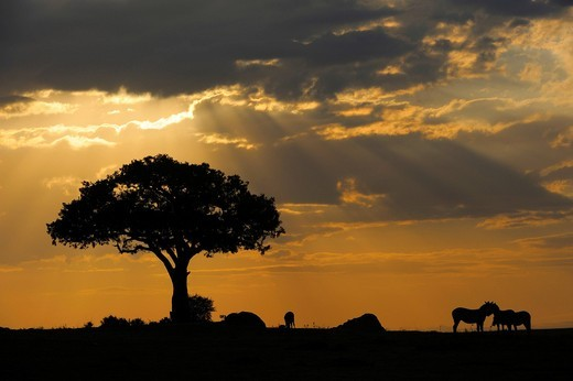 Light mood, morning in the Masai Mara National Reserve, Kenya, Africa : Stock Photo
