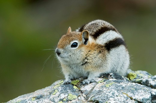 Golden_mantled ground squirrel Spermophilus lateralis, Grand Teton National Park, Wyoming, USA, North America : Stock Photo