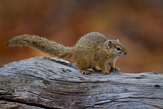 African tree squirrel Paraxerus cepapi, Kruger National Park, South Africa : Stock Photo