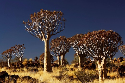 Stock Photo: 1848-536021 Quiver Tree Forest, Keetmanshoop, Namibia, Africa