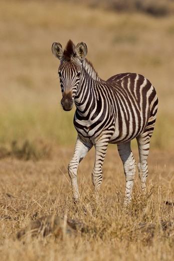Plains zebra Equus quagga in the bush, Kruger National Park, South Africa : Stock Photo