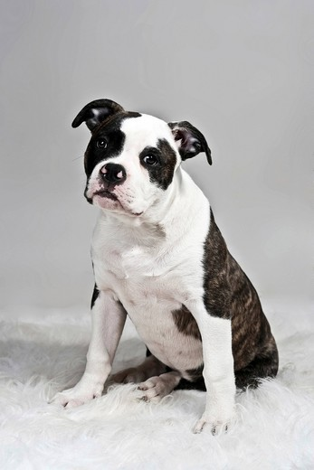 Sitting American Bulldog : Stock Photo