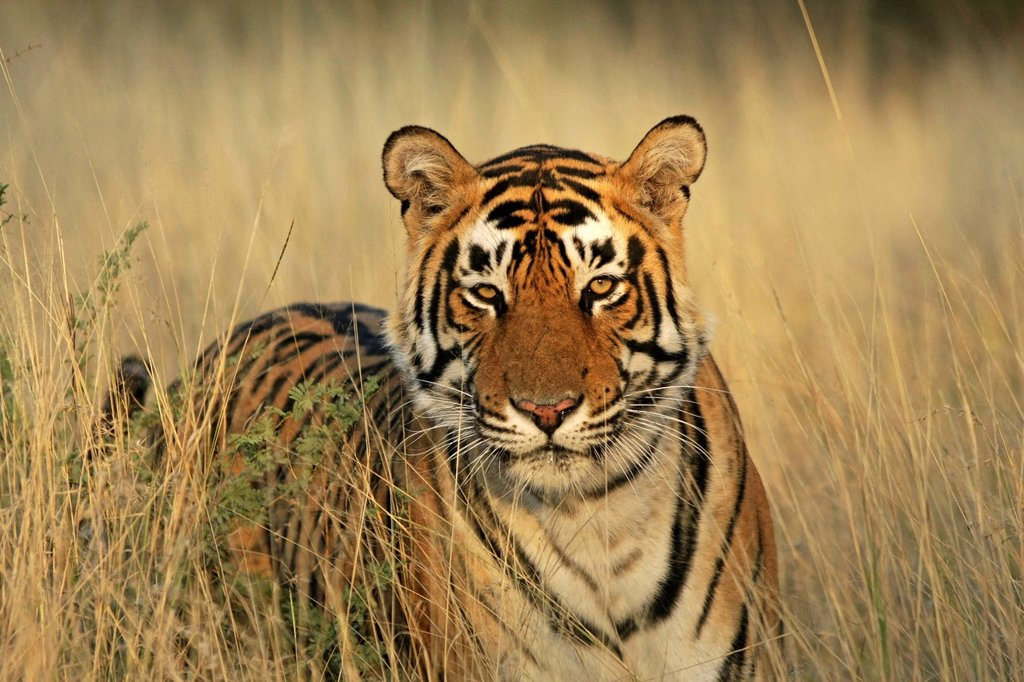 Stock Photo: 1848-536235 Tiger Panthera tigris, Ranthambore National Park, Rajasthan, India, Asia