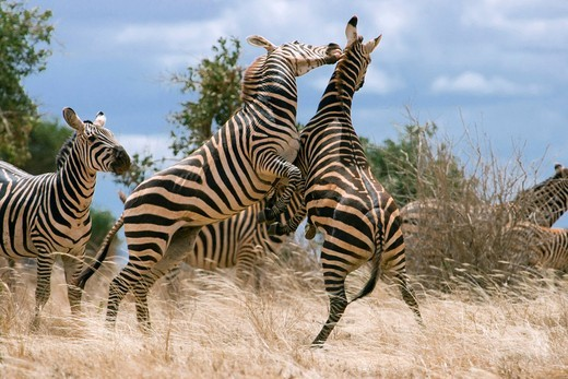 Zebras Equus quagga playing, Tsavo National Park, Kenya, Africa : Stock Photo