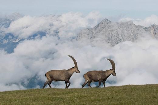 Ibex Capra ibex, Styria, Austria, Europe : Stock Photo