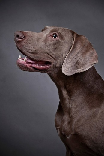 Stock Photo: 1848-537011 Weimaraner, portrait