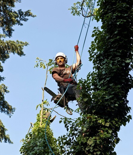 Stock Photo: 1848-538576 Lumberjack secured by a rope preparing to gradually fell a tree with a chainsaw, Germany, Europe