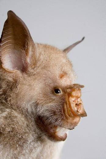 Striped leaf_nosed bat Hipposideros vittatus, portrait, Kenya, Africa : Stock Photo