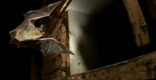 Greater mouse_eared bat Myotis myotis flying out of a summer quarter : Stock Photo
