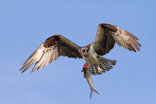 Osprey Pandion haliaetus flying with a caught fish, Florida, USA, America : Stock Photo