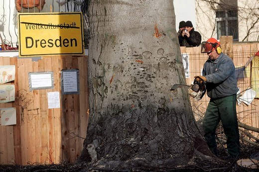 Robin Wood environmental activists were removed from a 300_year_old tree that was chopped down in order to build new bridge Waldschloesschenbruecke in Dresden, Saxony, Germany : Stock Photo