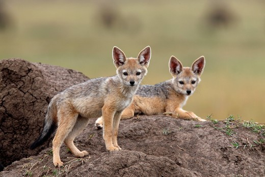 Black_backed Jackal Canis mesomelas pups, Masai Mara, Kenya, Africa : Stock Photo