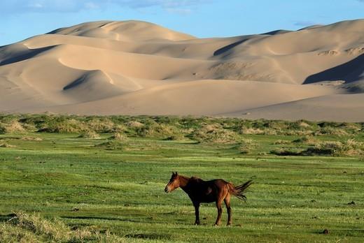 Mongolian horse standing in a lush green grass landscape in front of the large sand dunes Khorgoryn Els in the Gobi Desert, Gurvan Saikhan National Park, Oemnoegov Aimak, Mongolia, Asia : Stock Photo