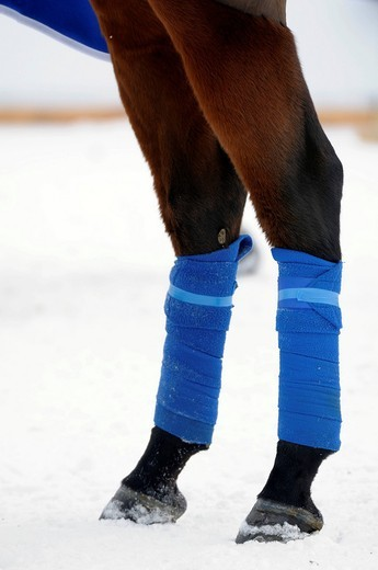 Polo horse with blue bandages, polo tournament, 26. St. Moritz Polo World Cup on Snow, St. Moritz, Upper Engadin, Engadin, Grisons, Switzerland, Europe : Stock Photo