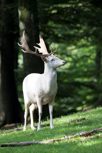 Albino Fallow Deer Dama dama, Daun Wildlife Park, Rhineland_Palatinate, Germany, Europe : Stock Photo