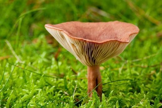 Rufous Milkcap mushroom Lactarius rufus : Stock Photo