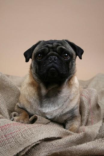 Lying pug : Stock Photo