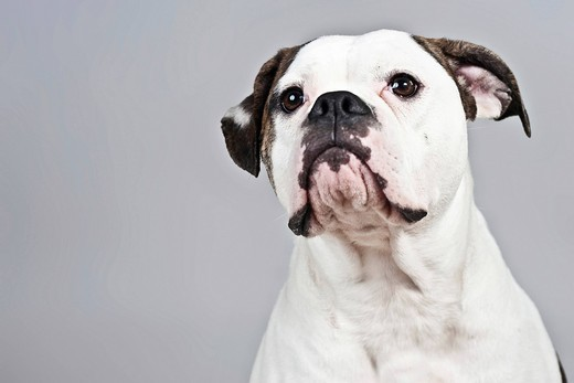 American Bulldog, portrait : Stock Photo