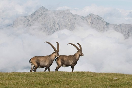 Ibex Capra ibex, Styria, Austria, Europe : Stock Photo