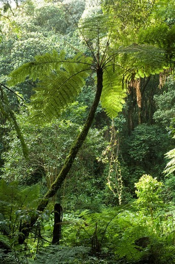 Tree fern Cyathea manniana growing in the forest on the Kilimanjaro, Tanzania, Africa : Stock Photo