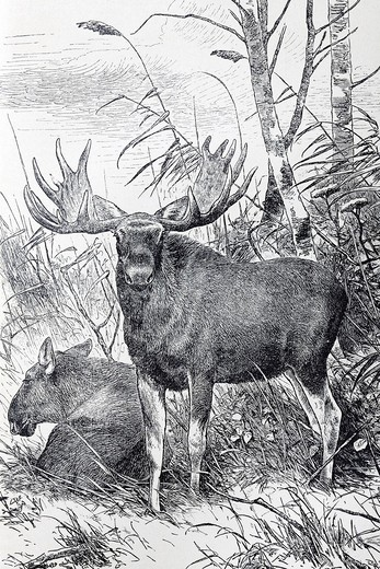 Moose or Elk Cervus Alces, historical book illustration from the 19th Century, steel engraving, Brockhaus Konversationslexikon, an encyclopaedia from 1908 : Stock Photo