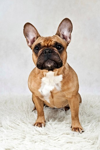 French bulldog : Stock Photo