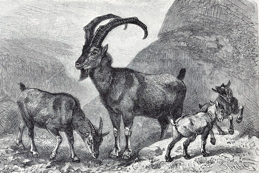 Bezoar Goat or Wild Goat Capra aegagrus, historical book illustration from the 19th Century, steel engraving, Brockhaus Konversationslexikon, an encyclopaedia from 1908 : Stock Photo