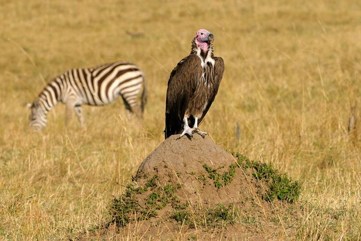 Lappet_faced Vulture or Nubian Vulture Torgos tracheliotos, sitting on a termite mound, Masai Mara National Reserve, Kenya, Africa : Stock Photo