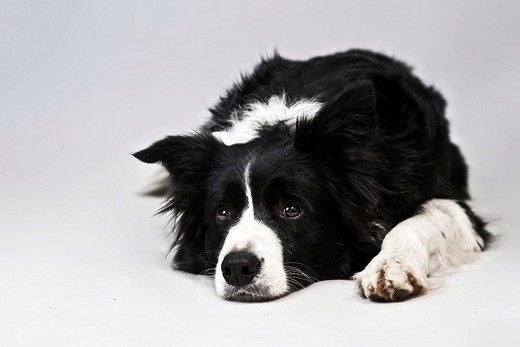 Lying Border Collie : Stock Photo