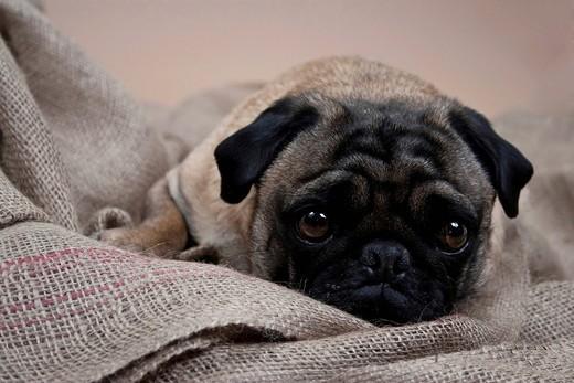 Stock Photo: 1848-548836 Lying pug