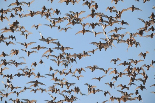 Mexican Free_tailed Bat Tadarida brasiliensis, swarm in flight, Bracken Cave, San Antonio, Hill Country, Central Texas, USA : Stock Photo
