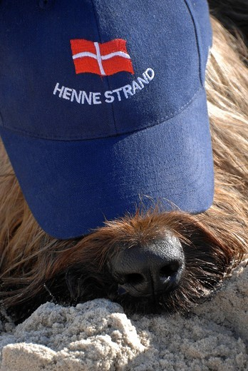 Stock Photo: 1848-550536 Briard dog wearing a blue cap with the Danish national flag and lettering Henne Strand, Denmark, Europe