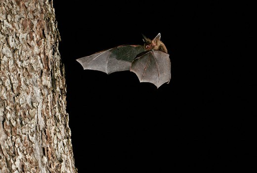 Bechstein´s bat Myotis bechsteinii : Stock Photo