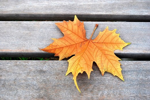 Wilted maple leaf on a park bench : Stock Photo