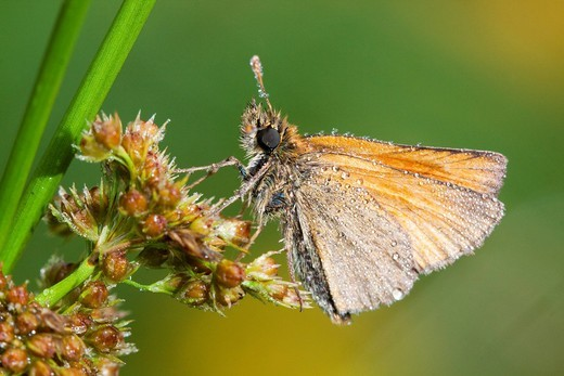 Large Skipper Ochlodes sylvanus with dewdrops : Stock Photo
