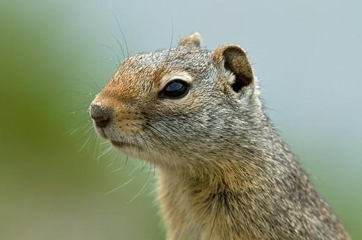 Stock Photo: 1848-551246 Rock Squirrel Citellus variegatus, Yellowstone National Park, Wyoming, USA, North America