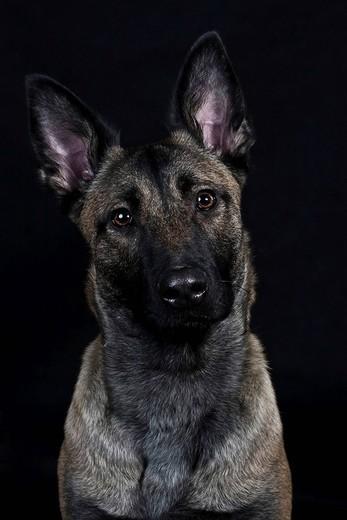 Dutch Shepherd Dog, portrait : Stock Photo