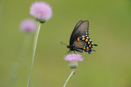 Stock Photo: 1848-552829 Pipevine Swallowtail Battus philenor, adult feeding on Texas thistle Cirsium texanum, Fennessey Ranch, Refugio, Coastal Bend, Texas Coast, USA