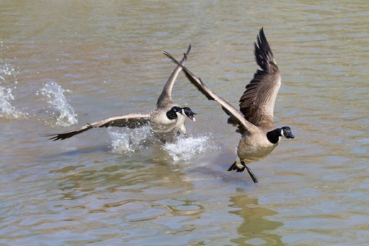 Canada geese Branta canadensis playing at a lake, Georgia, USA, America : Stock Photo