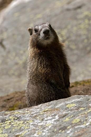 Yellow_belly Marmot Marmota flaviventris, Yellowstone National Park, Wyoming, USA, North America : Stock Photo