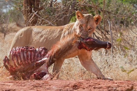 Lioness Panthera leo dragging a killed waterbuck Kobus ellipsiprymnus in the Tsavo National Park, Kenya, Africa : Stock Photo