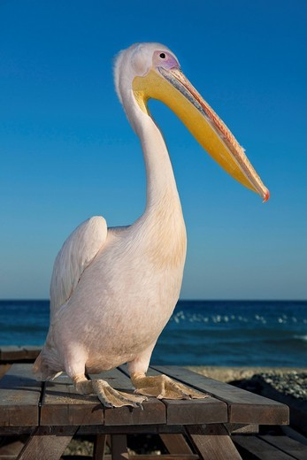Stock Photo: 1848-553853 A pelican at a beach bar, tavern, Lady´s Mile Beach, near Limassol, also known as Lemesos, Southern Cyprus, Greek Cyprus, South Eastern Europe, Europe