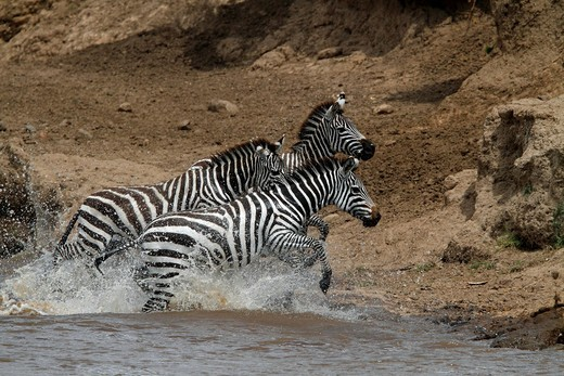 Zebras Equus quagga crossing a river, Masai Mara, Kenya, Africa : Stock Photo