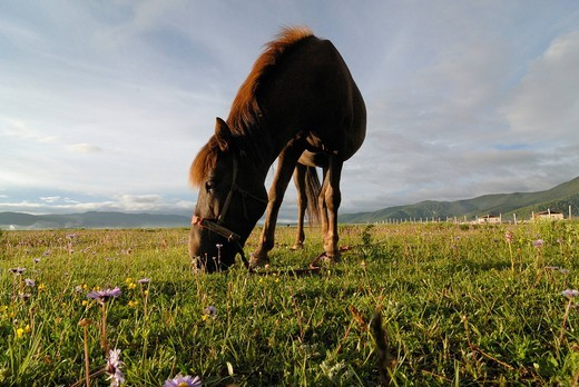 Stock Photo: 1848-554204 Horse on a lush summer pasture in the Himalayan foothills with Tibetan farmhouses of an Eastern Tibetan village at back, Kham, Shangri La, Tibetan translation Gyelthan, Eastern Tibet, modern Yunnan Province, China, Asia