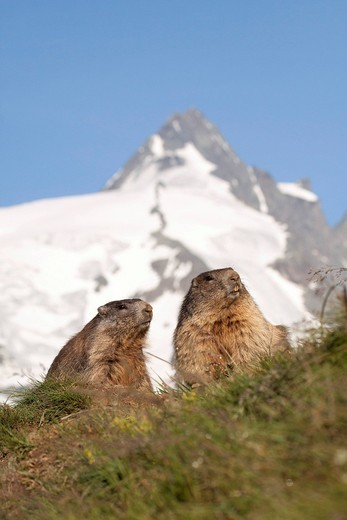 Stock Photo: 1848-555190 Alpine marmots Marmota marmota with Grossglockner at back, Hohe Tauern, Austria, Europe