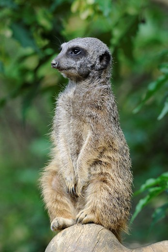 Meerkat Suricata suricatta : Stock Photo