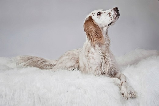 English Setter lying on a white plush blanket, looking up : Stock Photo